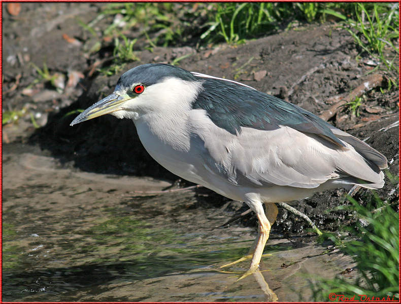 Night Crowned Heron