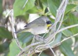 Common Yellowthroat (eastern, 1st winter)