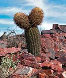 Unusual two headed barrel cactus