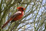Arizona Cardinal (1018)