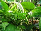 Chili peppers, (Capsicum annuum)