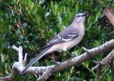 Louisiana Mockingbird
