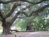 Ancient live oaks at City Park