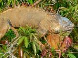 Iguanas, Crocodiles and Caimans of Costa Rica