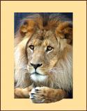 Jambo popout - lion at Taronga