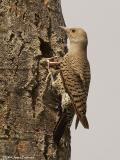 N. Flicker Red-shafted