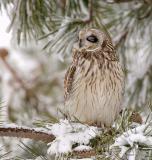 Salisbury, MA Sleepy Short Eared Owl