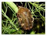 Brown Beetle.jpg