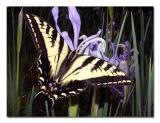 Tiger Swallowtail.jpg