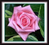 rose001 copy.JPG