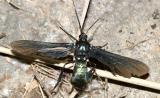 8273 - Southern Cyan Tiger Moth - Macrocneme chrysitis