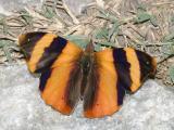 Common Banner - Epiphile adrasta