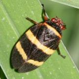 Spittle Bug superfamily - Cercopoidea