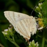 Creamy Stripe-Streak - Arawacus jada
