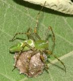 Green Lynx Spider - Peucetia viridans (on her egg case)