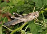 Gray Bird Grasshopper - Schistocerca nitens