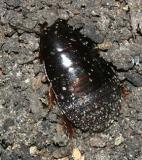 female Surinam Cockroach - Pycnoscelus surinamensis