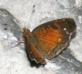 Chestnut Crescent male - Anthanassa argentea