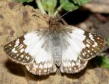 East-Mexican White-Skipper - Heliopetes sublinea