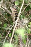 Texas Spiny Lizard - Sceloporus olivaceus
