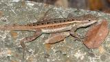 Texas Rose-bellied Lizard - Sceloporus variabilis