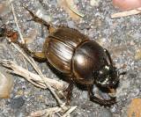 Gazelle Scarab - Onthophagus gazella (an introduced scarab beetle from Africa)