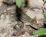 Texas Spotted Whiptail - Cnemidophorus gularis