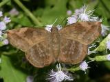 Sickle-winged Skipper - Eantis tamenund (female)