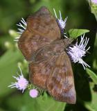 Glazed Pellicia - Pellicia arina