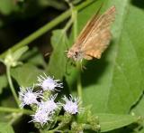 Brown-banded Skipper - Timochares ruptifasciata