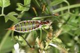 Chestnut Short-winged Katydid - Dichopetala castanea