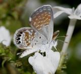 Western Pygmy-Blue - Brephidium exile