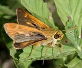 Southern Broken-Dash - Wallengrenia otho (male)