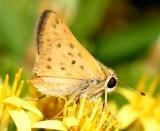 Fiery Skipper - Hylephila phyleus (female)