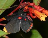 Red-bordered Pixie - Melanis pixe