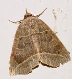 8493 -- Thin-lined Owlet Moth -- Isogona tenuis