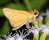 Common Mellana - Quasimellana eulogius