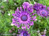 Osteospermum nasinga Purple