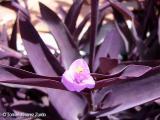 Setcreasea pallida 'Purpurea'