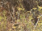Felosa-musical // Willow Warbler (Phylloscopus trochilus)