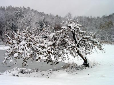 The apple tree with snow