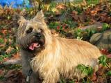 Cairns Terrier Otis.