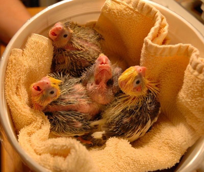 Baby cockatiels DSC_3811.jpg