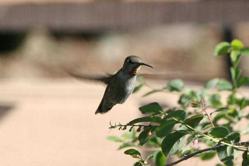 Annas Hummingbird hovering