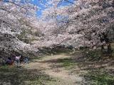 Sakura near Tsurumai-kōen