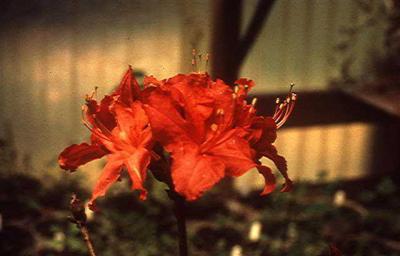 Red Chameleon (Red)