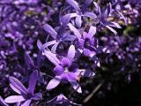 Closeup Petrea Flower