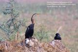 Darter and Little Cormorant.jpg