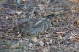 Although I have this labeled as an Indian Nightjar, Nigel Cleere and Krys Kazmierczak of the Oriental Bird Club (http://www.indiabirds.com/obc/) have carefully scrutinized pictures of this bird and have concluded that it is in fact a female Savanna Nightjar (Caprimulgus affinis).  I yield to their collective wisdom and thank OBC for bringing this to my attention.