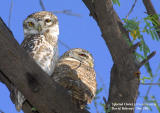 Spotted Owlet .jpg